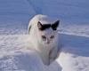 Pearly...Schneekatze